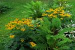 Black-eyed Susans, Monk Botanical Gardens, Wausau, Wisconsin