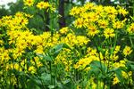 Sawtooth Sunflowers, Monk Botanical Gardens, Wausau, Wisconsin