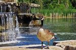 Canadian Goose at Resch Waterfalls, Bay Beach Wildlife Sanctuary, Green Bay, Wisconsin