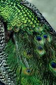 Peacock Feathers, Milwaukee County Zoo, Milwaukee, Wisconsin