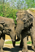 African Elephant and Calf at the Milwaukee County Zoo, Milwaukee, Wisconsin