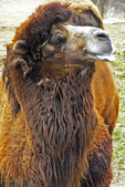 Male Bactrian Camel at the Milwaukee County Zoo, Milwaukee, Wisconsin