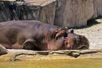 Hippopotamus at the Milwaukee County Zoo, Milwaukee, Wisconsin
