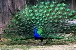 Peacock at the Milwaukee County Zoo, Milwaukee, Wisconsin