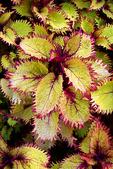 Coleus Henna Plant, Boerner Botanical Gardens, Milwaukee, Wisconsin