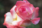 Gemini Tea Rose with Fly, Boerner Botanical Gardens, Milwaukee, Wisconsin