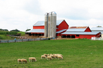 Sheep on Amish Farm, Driftless Area, Vernon County, Wisconsin