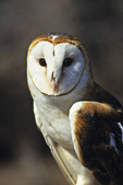 Barn Owl, New London, Wisconsin