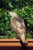 Marsh Hawk on Backyard Deck, Appleton, Wisconsin
