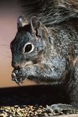 Squirrel Eating Seeds at Bird Feeder, Appleton, Wisconsin