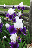 Purple and White Iris in Garden at the Fence, Sister Bay, Door County, Wisconsin