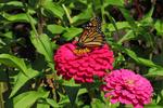 Monarch Butterfly on Zinnia, Paine Art Center and Gardens, Oshkosh, Wisconsin