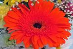 Orange Gerbera Daisy in Bouquet, Appleton, Wisconsin