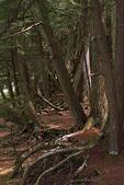 Cedar Trees, Dells of Eau Claire River County Park, Wausau, Wisconsin