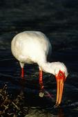 White Ibis in Water, Sanibel Island, Sanibel, Florida