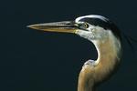 Great Blue Heron Close-up, Ding Darling Wildlife Refuge, Sanibel Island, Florida