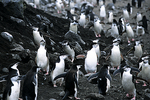 Chinstrap Penguins Marching From Ocean, Antarctica