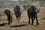 Elephants Coming to Waterhole, Etosha National Park, Namibia, Africa