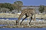 Giraffe at Waterhole, Etosha National Park, Namibia, Africa