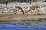 Impala Fighting at Waterhole, Etosha National Park, Namibia, Africa