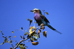 Lilac-breasted Roller, Etosha National Park, Namibia, Africa