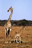 Giraffe and Baby, Etosha National Park, Namibia, Africa