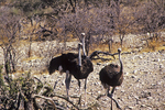 Ostrich Coming to Waterhole, Etosha National Park, Namibia, Africa