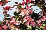 Apple Blossoms in Spring, Appleton, Wisconsin