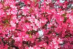 Spring Flowering Trees, Vulcan Heritage Park, Appleton, Wisconsin