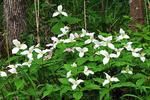 Trillium in the Woods in Spring, Sister Bay, Door County, Wisconsin