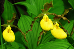 Yellow Lady Slipper Orchids in Spring, Sister Bay, Door County, Wisconsin