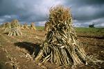 Corn Stalks in Field Before Storm, Calumet County, Wisconsin
