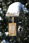 Downy Woodpecker at Feeder in Yard, Appleton, Wisconsin