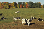 Cows in the Field and Fall Color, Wittenberg, Wisconsin
