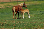 Amish Horse and New-born Foal (colt), Green Lake County, Wisconsin