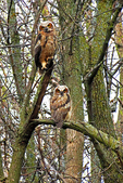 Barred Owl and Juvenile Owl in Woods, Appleton, Wisconsin