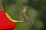 Ruby-throated Hummingbird at Feeder in Backyard, Appleton, Wisconsin