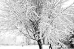 Snow on Tree in Backyard in Winter, Appleton, Wisconsin