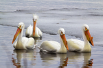 White Pelicans on Lake Winnebago with Ice, Neenah, Wisconsin