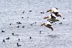 White Pelicans in Flight, Lake Winnebago, Neenah, Wisconsin