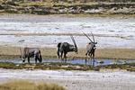 Oryx At Waterhole, Etosha National Park, Namibia, Africa