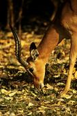 Black-faced Impala Grazing, Etosha National Park, Namibia, Africa