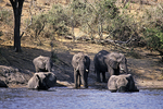 Elephants Crossing Chobe River, Botswana, Africa
