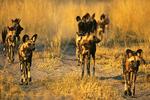 Wild Dog Pack Hunting, Botswana, Africa