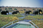 Elephants Crossing River In Front of Boat, Chobe National Park, Botswana, Africa