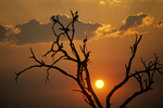Tree With Birds At Sunset, Botswana, Africa