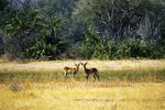 Red Lechwe in Okavango Delta, Botswana, Africa