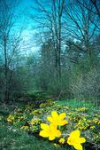 Spring At Mud Creek With Marsh Marigolds, Appleton, Wisconsin