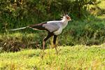 Secretary Bird, Kenya, Africa