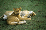 Lion cubs playing and resting, Tanzania, Africa